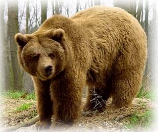 medvjed gorski-kotar-retriver