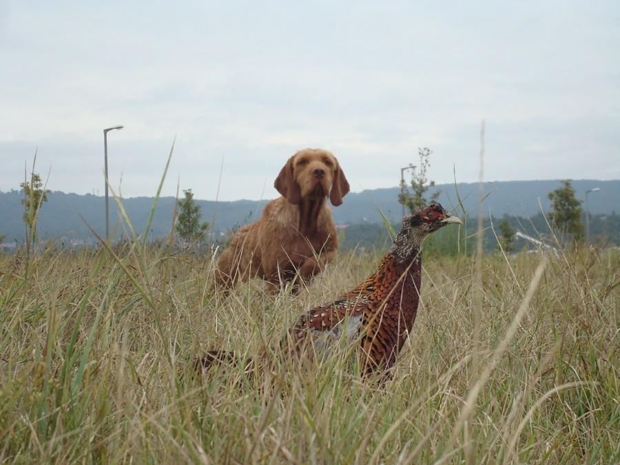 Lovački pas Vizla00002
