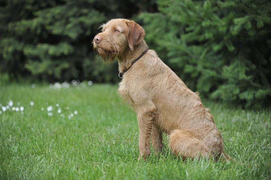 Lovački pas Vizla00003