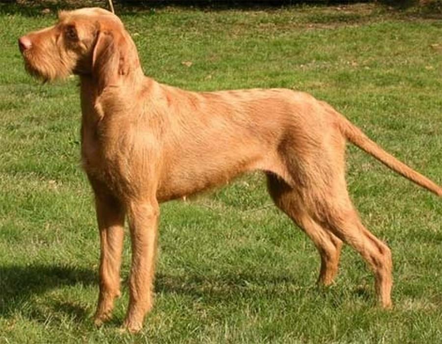 Lovački pas Vizla00004