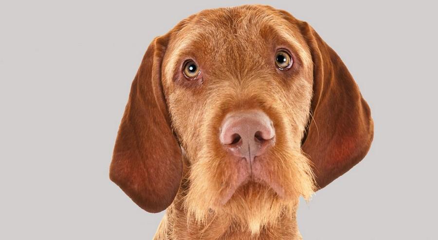 Lovački pas Vizla00005