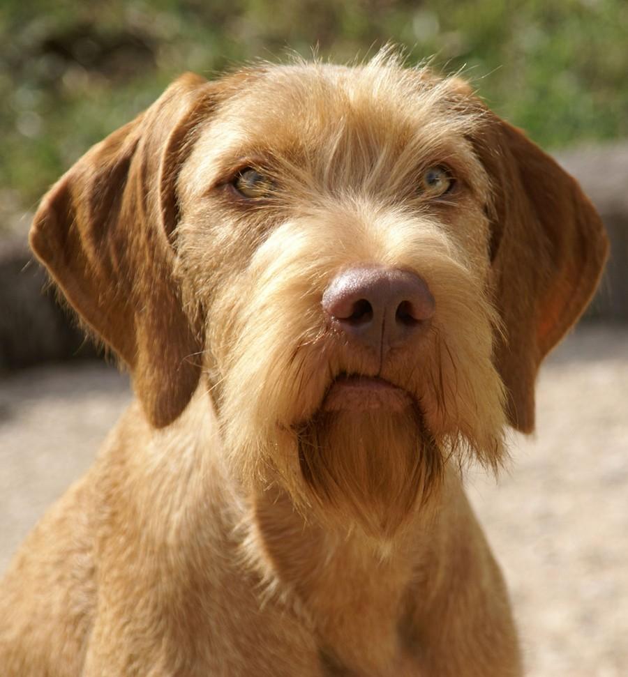 Lovački pas Vizla00008