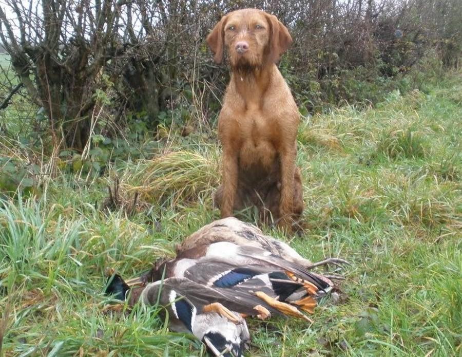 Lovački pas Vizla00009
