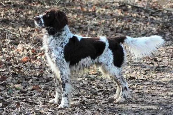 Lovački pas Francuskispanijel